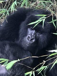 Gorilla Trekking in Rwands