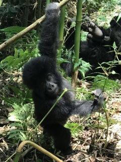 gorilla trek